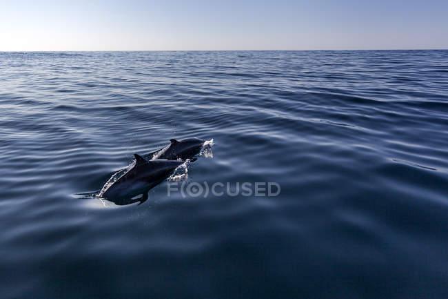 Atlantique surfaçage sur les vagues de l'océan de dauphins tachetés — Photo de stock
