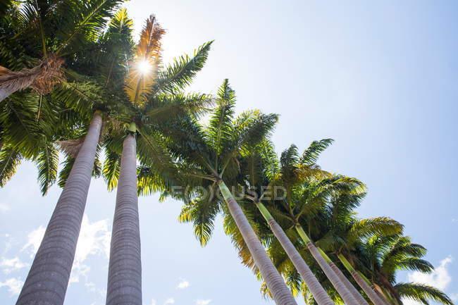 Низький кут зору сонячної пальмові дерева та Синє небо, острів Реюньон — стокове фото