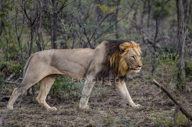 Диких африканских самца льва преследует добычу, Hluhluwe-Imfolozi парк, Южная Африка — стоковое фото