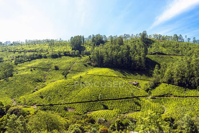 Plantação de chá de verde exuberante sob céu azul nublado — Fotografia de Stock