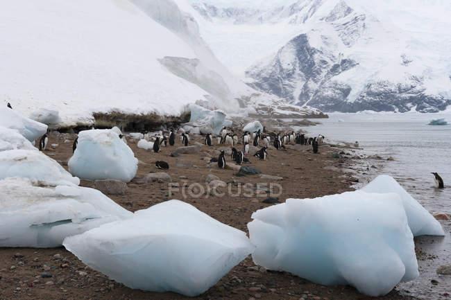Gentoo penguins walking on shore, Neko Harbor, Antarctica — Stock Photo