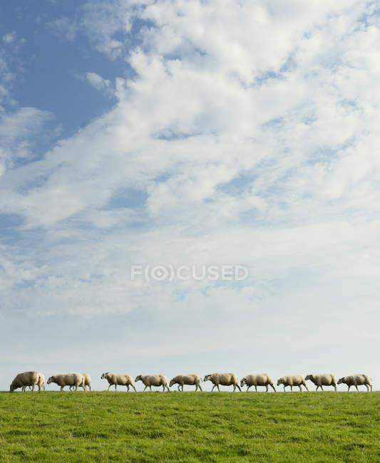 Sheep walking in row on green hill with cloudy sky — Stock Photo