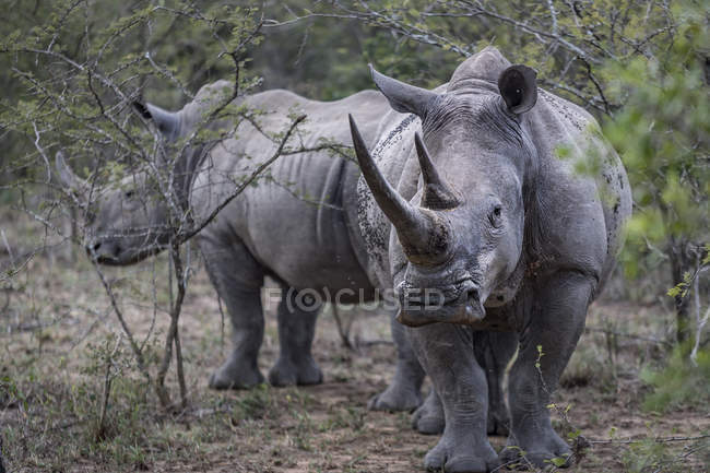 Rinoceronte blanco en peligro de extinción y la pantorrilla, Parque de Hluhluwe-Imfolozi, Suráfrica - foto de stock