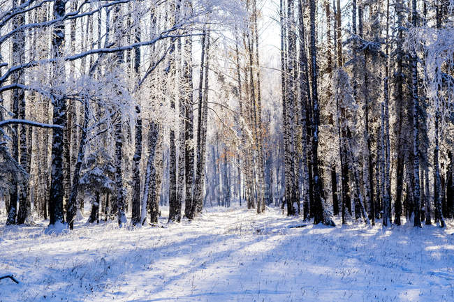 Scenic view of winter forest, Ural, Russia — Stock Photo