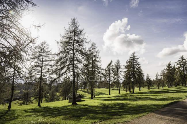 Fir trees on grass, Jenesien, South Tyrol, Italy — Stock Photo