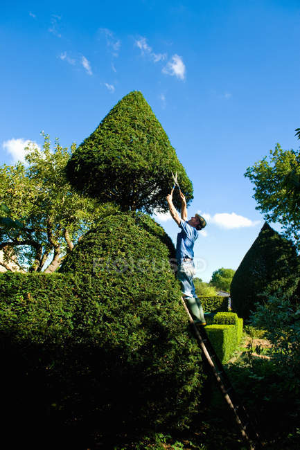 Man on top of ladder trimming ornamental hedge with garden shears — Stock Photo