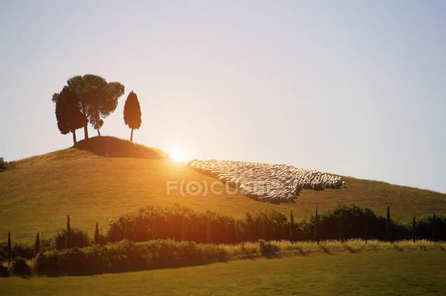 Rebanho de ovelhas em exuberante paisagem verde, Val d 'Orcia, Siena, Toscana, Itália — Fotografia de Stock