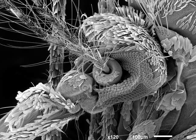 Micrografía electrónica de barrido de cabeza de mosquito - foto de stock