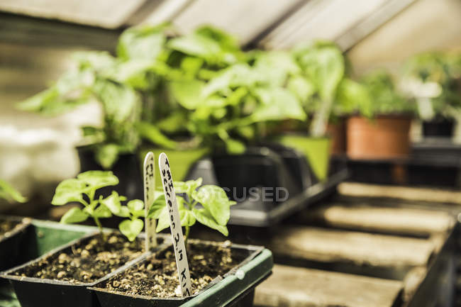 Close up of labelled potted vegetable seedling — Stock Photo