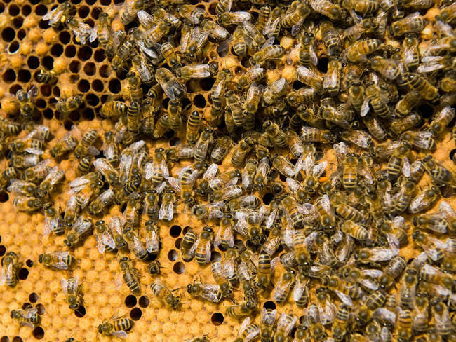 Miel abeilles sous honeycomb, bouchent shot — Photo de stock