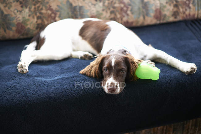 Springer spaniel dog lying on sofa at home — Stock Photo
