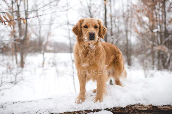 Commandes de Golden retriever sur rondin en bois recouvert de neige — Photo de stock