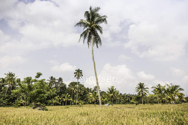 Green field landscape with tall palm tree — Stock Photo