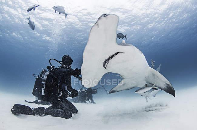 Grand requin de Hammerhead avec des plongeurs autour de lui — Photo de stock