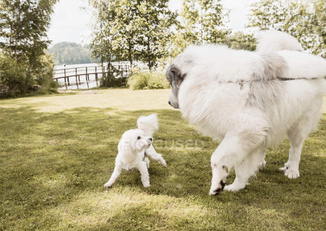 Coton de tulear dog and great pyrenees dog playing in garden, Orivesi, Finland — Stock Photo