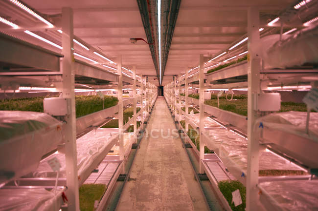 Pasillo con estantes y bandejas de micro greens en vivero túnel subterráneo, Londres, Reino Unido - foto de stock