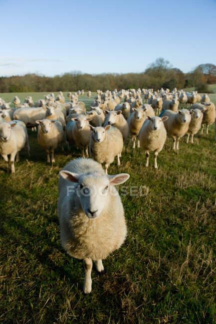 Curioso rebaño de ovejas de pie en el campo verde - foto de stock