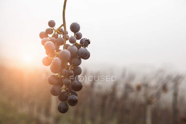 Bunch of grapes and vineyard in fog, Barolo wine region, Langhe, Piedmont. Italy — Stock Photo