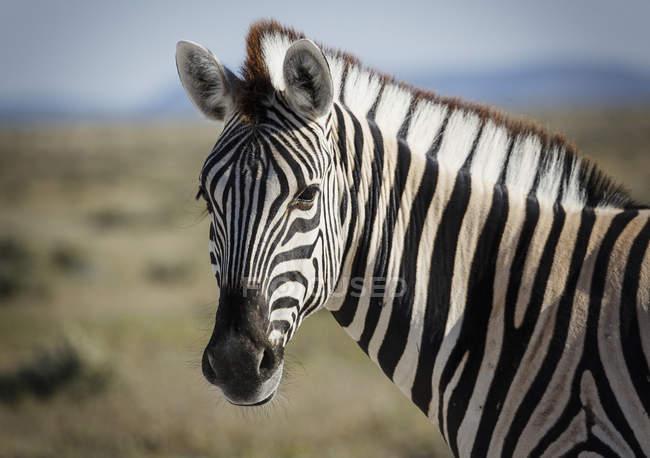Закрыть вверх снимок головы зебры — стоковое фото