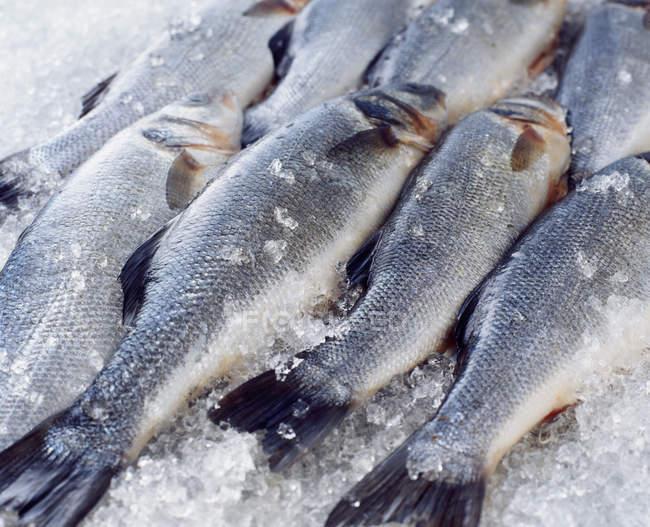 Сырые весь сибас на дробленый лед — стоковое фото