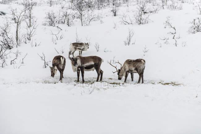 Дикие олени кормятся на заснеженном поле — стоковое фото