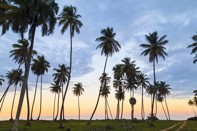 Silhouetted palm trees at sunset on coast, Dominican Republic, The Caribbean — Stock Photo