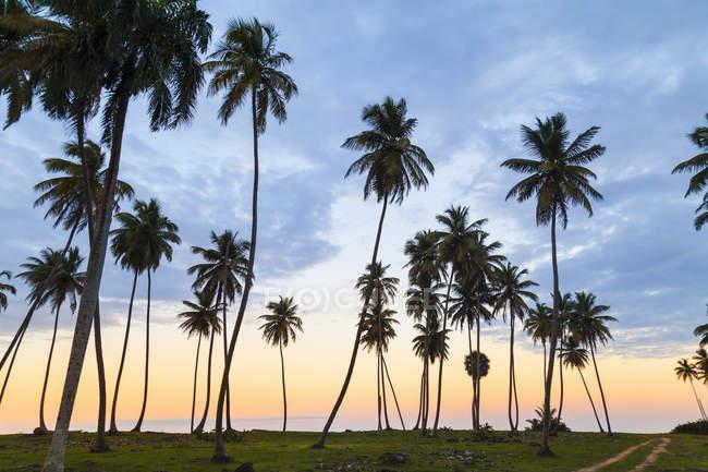 Силуэт пальмы на закате на побережье, Доминиканская Республика, Карибский бассейн — стоковое фото