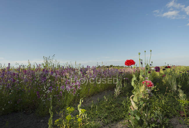 Field of red and purple wildflowers in evening — Stock Photo