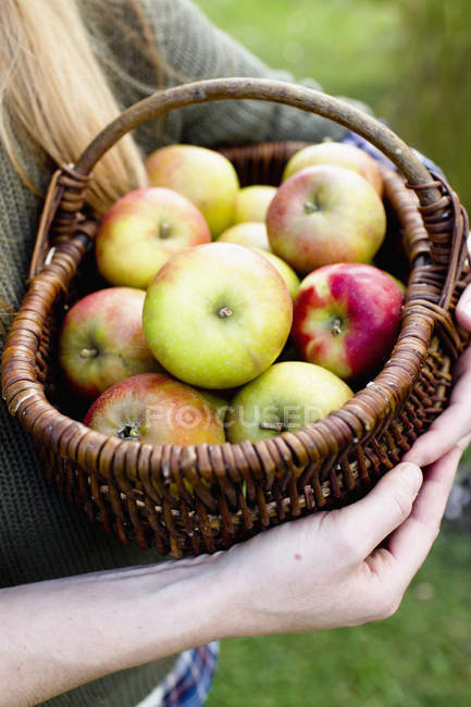 Woman holding basket of ripe apples — Stock Photo