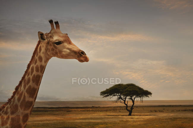 Girafe au coucher du soleil, Parc national d'Etosha, Namibie — Photo de stock