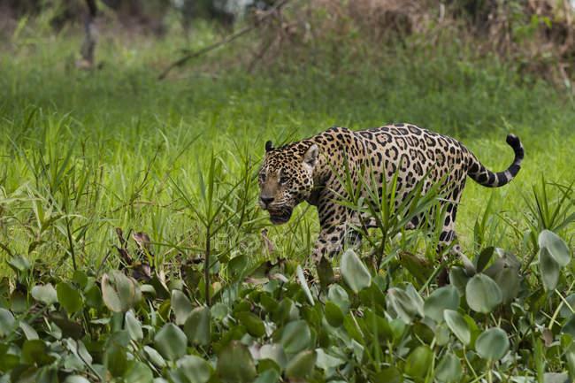 Jaguar em pântano pelo rio Cuiabá, Pantanal, Mato Grosso, Brasil — Fotografia de Stock