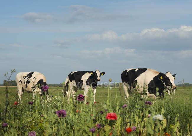 Drei Kühe grasen auf Feld, Aagtekerke, Zeeland, Niederlande — Stockfoto