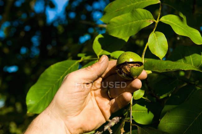 Nahaufnahme eines Mannes, der Walnuss von Walnussbaum erntet — Stockfoto