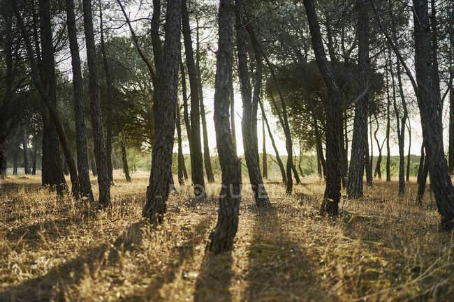 Солнечный свет сквозь деревья в лесу, Тудела-де-Дуеро, Испания — стоковое фото