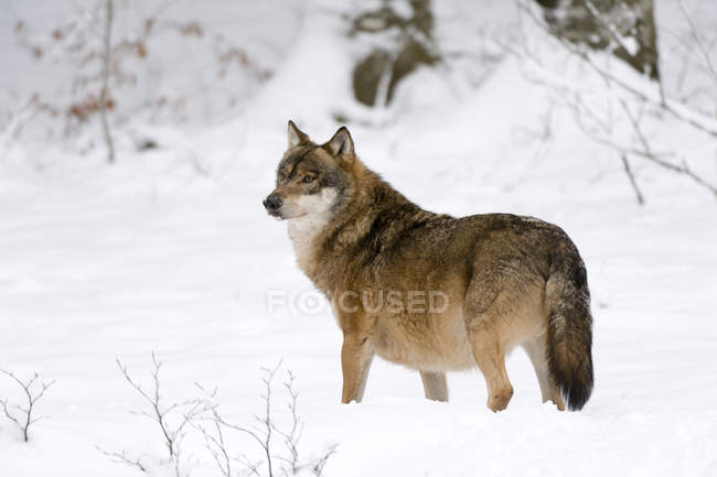 Сірий вовк в Баварський ліс Національний парк, Баварія, Німеччина — стокове фото