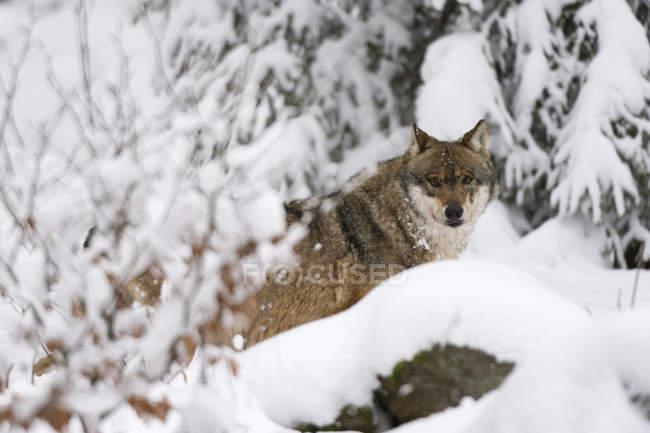 Серый волк или Canis волчанка в национальном парке Баварский лес, Бавария, Германия — стоковое фото