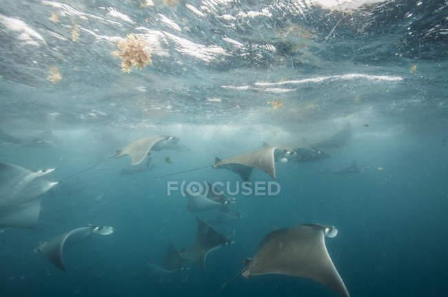 Unterwasser-Ansicht von Mobula Rochen sammeln sich für die Migration rund um die Yucatan-Halbinsel, contoy island, quintana roo, Mexico — Stockfoto