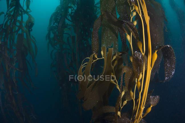 Unterwasser Nahaufnahme von Kelp Samenkapseln — Stockfoto