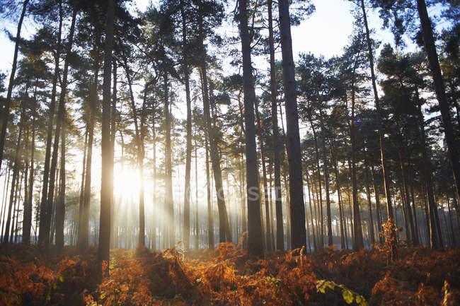 Sonnenstrahlen, die durch Herbst Waldbäume Beleuchtung — Stockfoto