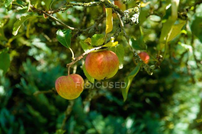 Два спелых яблока на дереве — стоковое фото