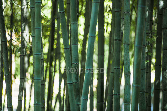 Close up of green bamboo plants in forest — Stock Photo