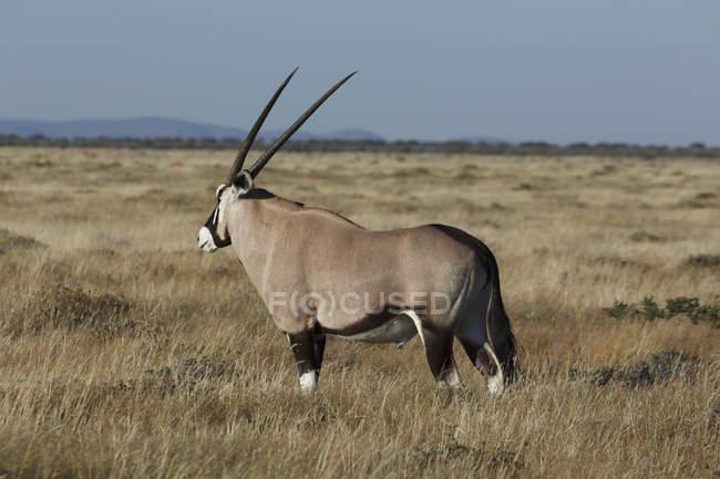 Oryx de pâturage sur les plaines, Parc National d'Etosha, Namibie — Photo de stock