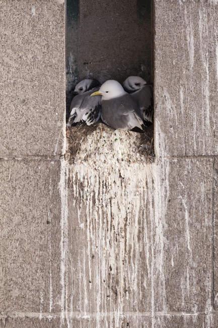 Familie Schwarz-legged Dreizehenmöwen im Nest auf Kante des Gebäudes — Stockfoto