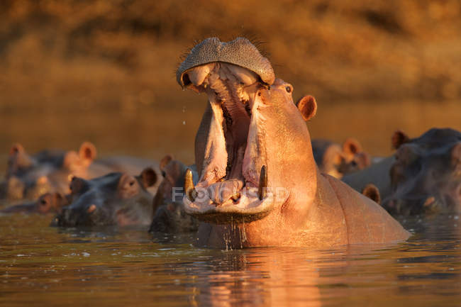Hippopotamus o Hippopotamus amphibius dando aviso bostezo, Parque Nacional Mana Pools, Zimbabwe - foto de stock