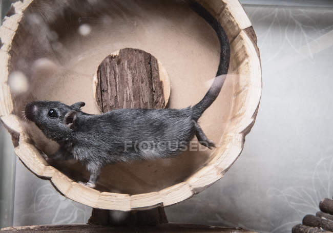 Side view of gerbil running in wooden wheel — Stock Photo