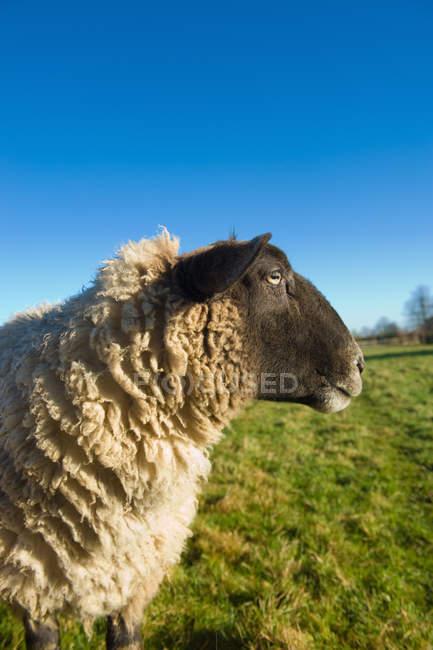 Vue latérale du mouton en plein soleil — Photo de stock