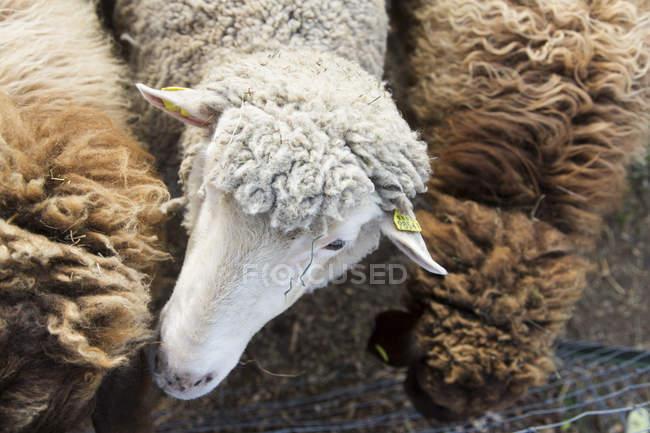 Vue aérienne de moutons blancs entre mouton brun — Photo de stock