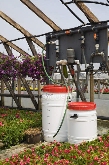 Watering equipment inside a wooden framed commercial greenhouse with purple Petunias in hanging baskets and pink flowering Begonia plants being grown in containers for sale to distributors and the public in spring, Quebec, Canada — Stock Photo