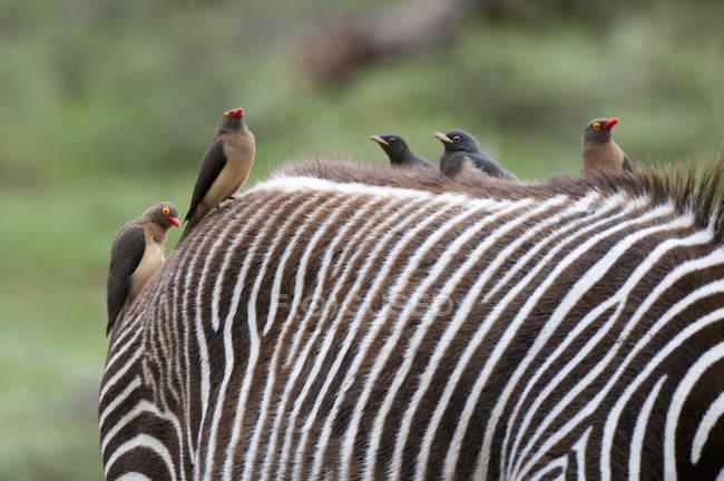 Oxpecker dal becco rosso (Buphagus erytrorhynchus) sulla schiena della zebra di Grevy (Equus grevyi), Parco nazionale di Samburu, Kenya — Foto stock