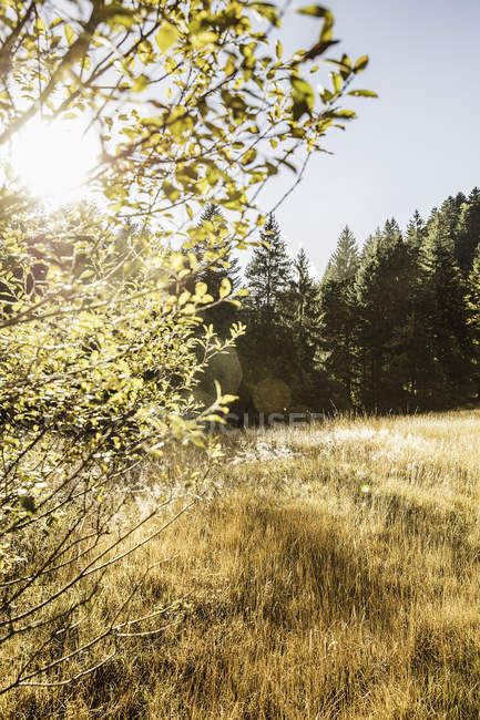 Golden field and forest landscape, Bavaria, Germany — Stock Photo